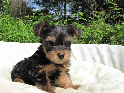 ヨークシャーテリアの子犬(ID:1232811051)の6枚目の写真/更新日:2014-09-02