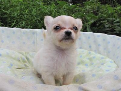チワワ(ロング)の子犬(ID:1232811052)の1枚目の写真/更新日:2014-09-04