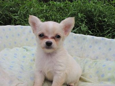 チワワ(ロング)の子犬(ID:1232811052)の2枚目の写真/更新日:2014-09-04