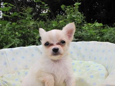 チワワ(ロング)の子犬(ID:1232811052)の3枚目の写真/更新日:2014-09-04
