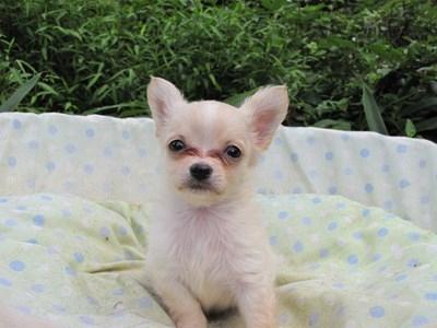 チワワ(ロング)の子犬(ID:1232811052)の4枚目の写真/更新日:2014-09-04
