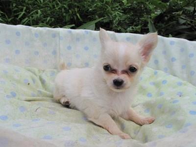 チワワ(ロング)の子犬(ID:1232811052)の5枚目の写真/更新日:2014-09-04