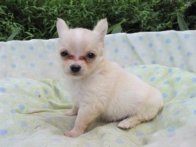 チワワ(ロング)の子犬(ID:1232811052)の6枚目の写真/更新日:2014-09-04