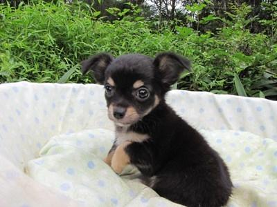 チワワ(ロング)の子犬(ID:1232811054)の1枚目の写真/更新日:2014-09-05
