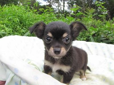 チワワ(ロング)の子犬(ID:1232811054)の2枚目の写真/更新日:2014-09-05