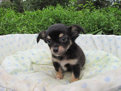 チワワ(ロング)の子犬(ID:1232811054)の3枚目の写真/更新日:2014-09-05