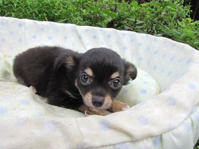チワワ(ロング)の子犬(ID:1232811054)の4枚目の写真/更新日:2014-09-05