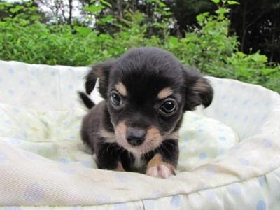 チワワ(ロング)の子犬(ID:1232811054)の5枚目の写真/更新日:2014-09-05