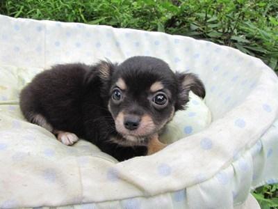 チワワ(ロング)の子犬(ID:1232811054)の6枚目の写真/更新日:2014-09-05