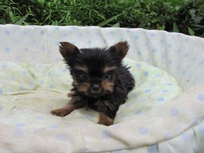 ヨークシャーテリアの子犬(ID:1232811055)の1枚目の写真/更新日:2014-09-06