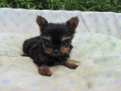 ヨークシャーテリアの子犬(ID:1232811055)の2枚目の写真/更新日:2014-09-06