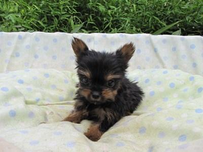 ヨークシャーテリアの子犬(ID:1232811055)の3枚目の写真/更新日:2014-09-06