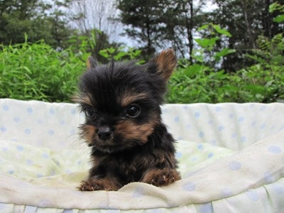 ヨークシャーテリアの子犬(ID:1232811055)の4枚目の写真/更新日:2014-09-06