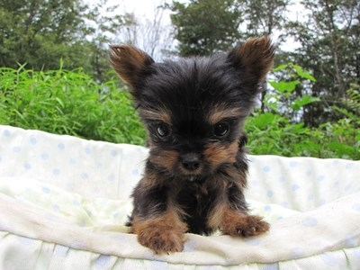 ヨークシャーテリアの子犬(ID:1232811055)の5枚目の写真/更新日:2014-09-06