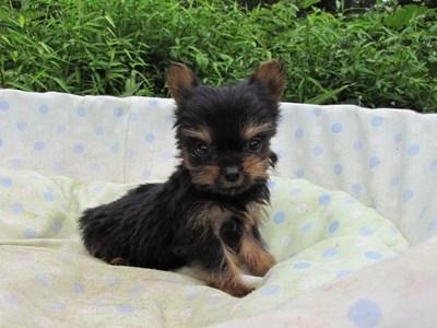ヨークシャーテリアの子犬(ID:1232811055)の6枚目の写真/更新日:2014-09-06