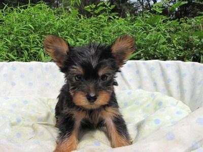 ヨークシャーテリアの子犬(ID:1232811056)の1枚目の写真/更新日:2014-09-10