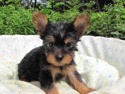 ヨークシャーテリアの子犬(ID:1232811056)の2枚目の写真/更新日:2014-09-10