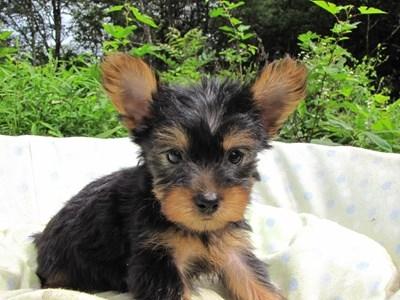 ヨークシャーテリアの子犬(ID:1232811056)の3枚目の写真/更新日:2014-09-10