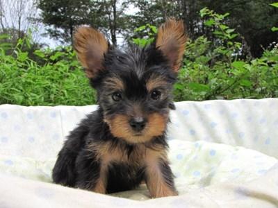 ヨークシャーテリアの子犬(ID:1232811056)の5枚目の写真/更新日:2014-09-10