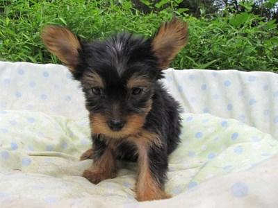 ヨークシャーテリアの子犬(ID:1232811056)の6枚目の写真/更新日:2014-09-10