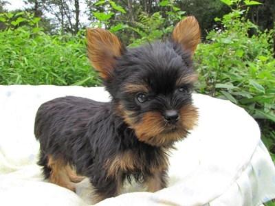 ヨークシャーテリアの子犬(ID:1232811057)の1枚目の写真/更新日:2014-09-11