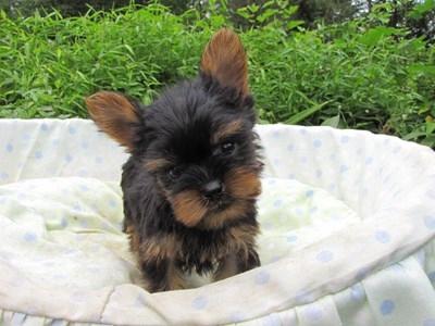 ヨークシャーテリアの子犬(ID:1232811057)の2枚目の写真/更新日:2014-09-11