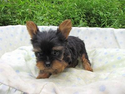 ヨークシャーテリアの子犬(ID:1232811057)の3枚目の写真/更新日:2014-09-11