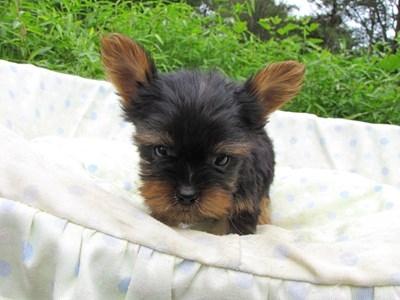 ヨークシャーテリアの子犬(ID:1232811057)の4枚目の写真/更新日:2014-09-11