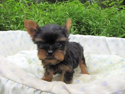 ヨークシャーテリアの子犬(ID:1232811057)の5枚目の写真/更新日:2014-09-11