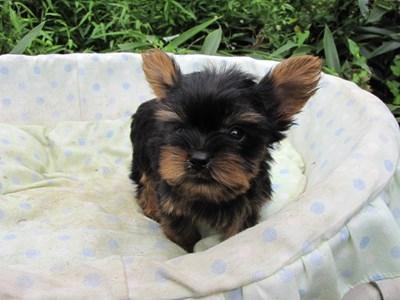 ヨークシャーテリアの子犬(ID:1232811057)の6枚目の写真/更新日:2014-09-11