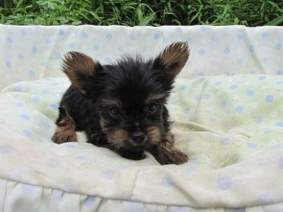 ヨークシャーテリアの子犬(ID:1232811058)の1枚目の写真/更新日:2014-09-12