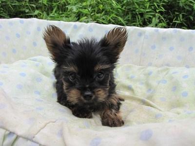 ヨークシャーテリアの子犬(ID:1232811058)の2枚目の写真/更新日:2014-09-12