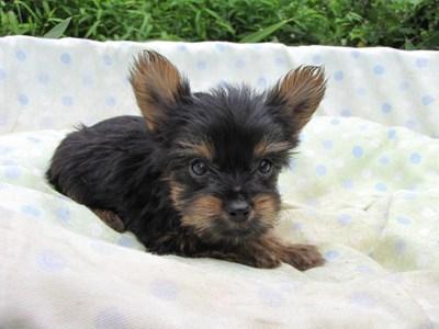 ヨークシャーテリアの子犬(ID:1232811058)の3枚目の写真/更新日:2014-09-12