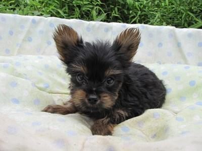 ヨークシャーテリアの子犬(ID:1232811058)の4枚目の写真/更新日:2014-09-12