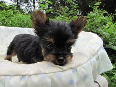ヨークシャーテリアの子犬(ID:1232811058)の5枚目の写真/更新日:2014-09-12
