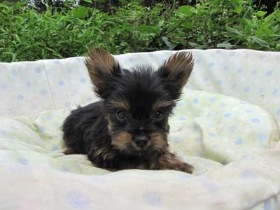 ヨークシャーテリアの子犬(ID:1232811058)の6枚目の写真/更新日:2014-09-12