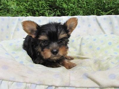 ヨークシャーテリアの子犬(ID:1232811059)の1枚目の写真/更新日:2014-09-13