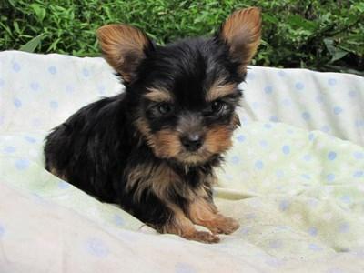 ヨークシャーテリアの子犬(ID:1232811059)の2枚目の写真/更新日:2014-09-13