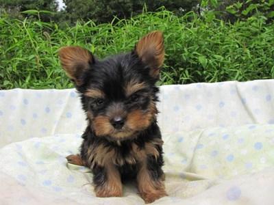 ヨークシャーテリアの子犬(ID:1232811059)の3枚目の写真/更新日:2014-09-13