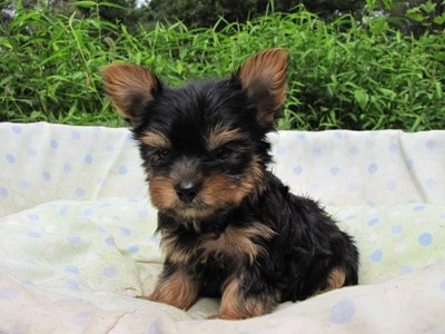 ヨークシャーテリアの子犬(ID:1232811059)の4枚目の写真/更新日:2014-09-13