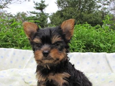ヨークシャーテリアの子犬(ID:1232811059)の5枚目の写真/更新日:2014-09-13