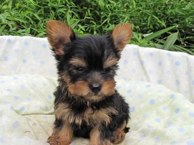 ヨークシャーテリアの子犬(ID:1232811059)の6枚目の写真/更新日:2014-09-13