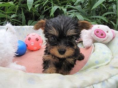 ヨークシャーテリアの子犬(ID:1232811062)の1枚目の写真/更新日:2015-09-09