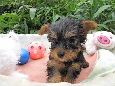 ヨークシャーテリアの子犬(ID:1232811062)の2枚目の写真/更新日:2015-09-09