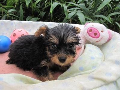 ヨークシャーテリアの子犬(ID:1232811062)の3枚目の写真/更新日:2015-09-09