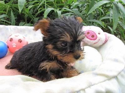 ヨークシャーテリアの子犬(ID:1232811062)の4枚目の写真/更新日:2015-09-09