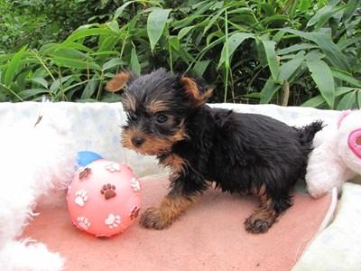ヨークシャーテリアの子犬(ID:1232811062)の5枚目の写真/更新日:2015-09-09