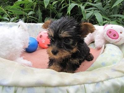 ヨークシャーテリアの子犬(ID:1232811062)の6枚目の写真/更新日:2015-09-09