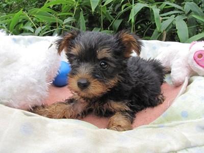 ヨークシャーテリアの子犬(ID:1232811063)の1枚目の写真/更新日:2015-09-10