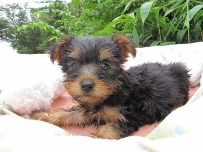 ヨークシャーテリアの子犬(ID:1232811063)の2枚目の写真/更新日:2015-09-10